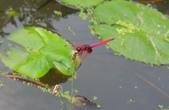 蜻蛉目:DSCN7513