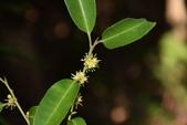 冬青科植物:糊樗 (雄花)