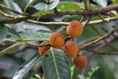 柿樹科植物:毛柿