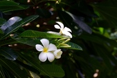 夾竹桃科植物  :鈍葉緬梔