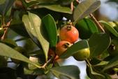 迷人的果實... 5:草莓番石榴