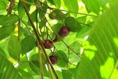 楊柳科植物 (大風子科植物併入 ):羅比梅