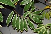 薑科植物...2:DSC_0720