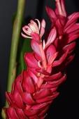 薑科植物...2:紅薑花