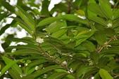 夾竹桃科植物  :假橡膠木(馬島懸枝香藤)