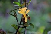 爵床科植物 :紅肋假杜鵑
