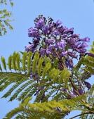 紫葳科植物:藍花楹