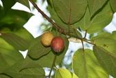桑科植物:牛奶榕