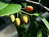 非洲核果木科 (假黃楊科):鐵色