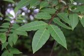 芸香科植物:賊仔樹