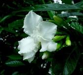 夾竹桃科植物  :馬茶花