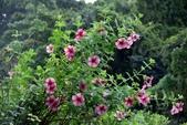 夾竹桃科植物  :紫蟬