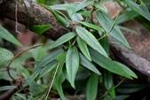 夾竹桃科植物  :疏花鷗蔓