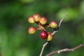 番荔枝科植物:雞爪樹