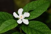夾竹桃科植物  :錫蘭水梅