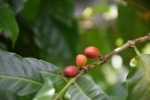 茜草科植物:咖啡