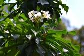 夾竹桃科植物  :劍葉緬梔 (戟葉緬梔)