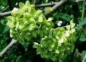 夾竹桃科植物  :華他卡藤