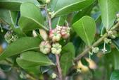 葉下株科植物:細葉饅頭果