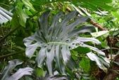 天南星科植物:龜背芋