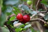 西印度櫻桃:DSC_0479
