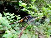 蜻蛉目:鼎脈蜻蜓(雌)