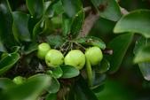 西印度櫻桃:西印度櫻桃