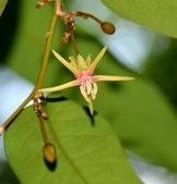 楊柳科植物 (大風子科植物併入 ):大風子
