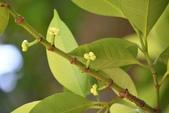 藤黃科植物:蘭嶼福木