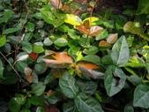 夾竹桃科植物  :初雪葛