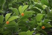 茜草科植物:卡鄧伯木