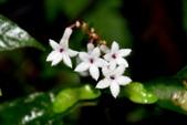 茜草科植物:蛇根草