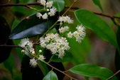 薔薇科植物:墨點櫻桃