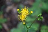 菊科植物:黃花三七草