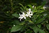 芸香科植物:長果月橘
