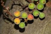 桑科植物:優曇華