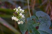 夾竹桃科植物  :薄葉牛皮消