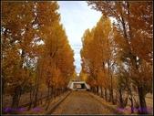 2014 世界屋脊 : 西藏 @ 塞外江南 ~ 林芝:金黃色的白楊樹
