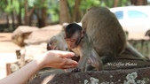 D14暹粒 5塔布隆寺-樹中廟、猴子與咖啡:IMG_2116.JPG