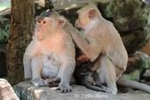 D14暹粒 5塔布隆寺-樹中廟、猴子與咖啡:IMG_2123.JPG