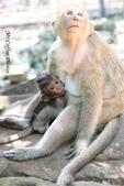 D14暹粒 5塔布隆寺-樹中廟、猴子與咖啡:IMG_2091.JPG