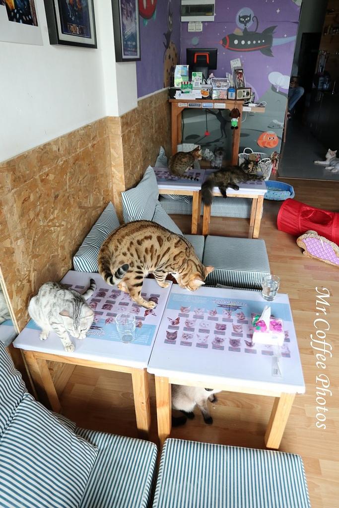 IMG_3308.JPG - D17清邁 3貓咖啡 Catmosphere Cat Café