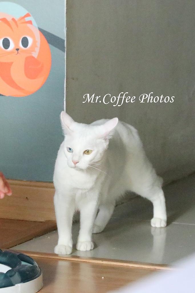 IMG_3277.JPG - D17清邁 3貓咖啡 Catmosphere Cat Café