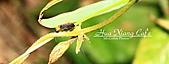 11.04.27【古坑】《山豬湖》賞螢火蟲:就像小蟑螂,不過比米粒大一點點而已
