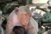 D14暹粒 5塔布隆寺-樹中廟、猴子與咖啡:IMG_2152.JPG