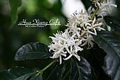 10.05.31 咖啡花上的蜜蜂:IMG_7327.JPG
