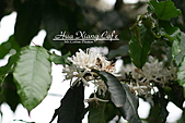 10.05.31 咖啡花上的蜜蜂:IMG_7330.JPG