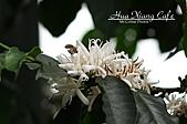 10.05.31 咖啡花上的蜜蜂:IMG_7339.JPG