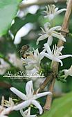 10.05.31 咖啡花上的蜜蜂:IMG_7347.JPG