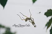10.05.31 咖啡花上的蜜蜂:IMG_7362.JPG